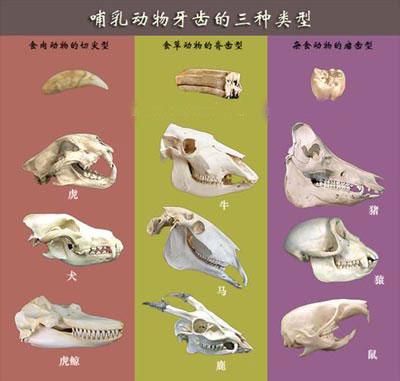 哺乳动物的牙齿是各齿形态相异的异型齿